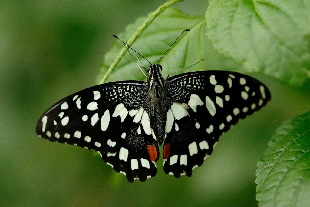 IMAGE: http://www.ware.myzen.co.uk/GalleryPics/Photos/Captive%20Animals/Insects/zoo%20C%20Lime%20Swallowtail%20A01_001_18-10-18.jpg