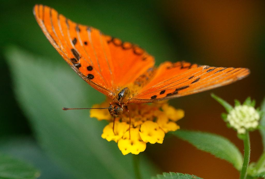 IMAGE: http://www.ware.myzen.co.uk/GalleryPics/Photos/Captive%20Animals/Insects/zoo%20Gulf%20Fritillary%20A01_004_18-10-18.jpg