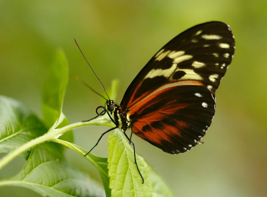 IMAGE: http://www.ware.myzen.co.uk/GalleryPics/Photos/Captive%20Animals/Insects/zoo%20Tiger%20Longwing%20A02_001_18-10-18.jpg