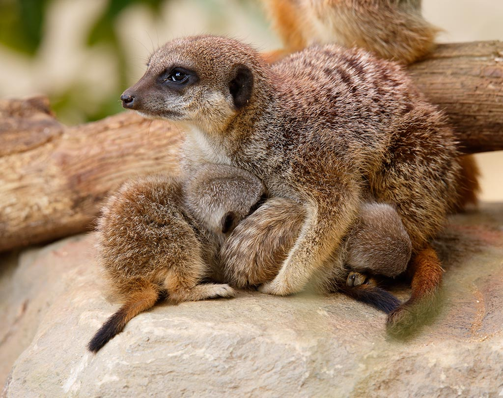 IMAGE: http://www.ware.myzen.co.uk/GalleryPics/Photos/Captive%20Animals/Meerkat/zoo%206D%20Meerkat%20A_15-06-10_006.jpg