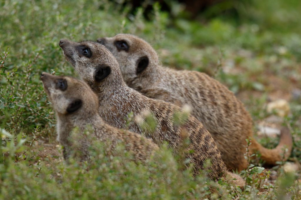 IMAGE: http://www.ware.myzen.co.uk/GalleryPics/Photos/Captive%20Animals/Meerkat/zoo%20Meerkat%20A01_003_15-09-17.jpg
