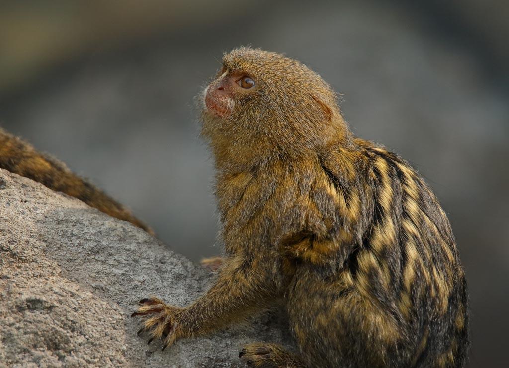 IMAGE: http://www.ware.myzen.co.uk/GalleryPics/Photos/Captive%20Animals/Monkeys%20and%20Apes/capan%20Pygmy%20marmoset%20B01_004_10-09-18.jpg