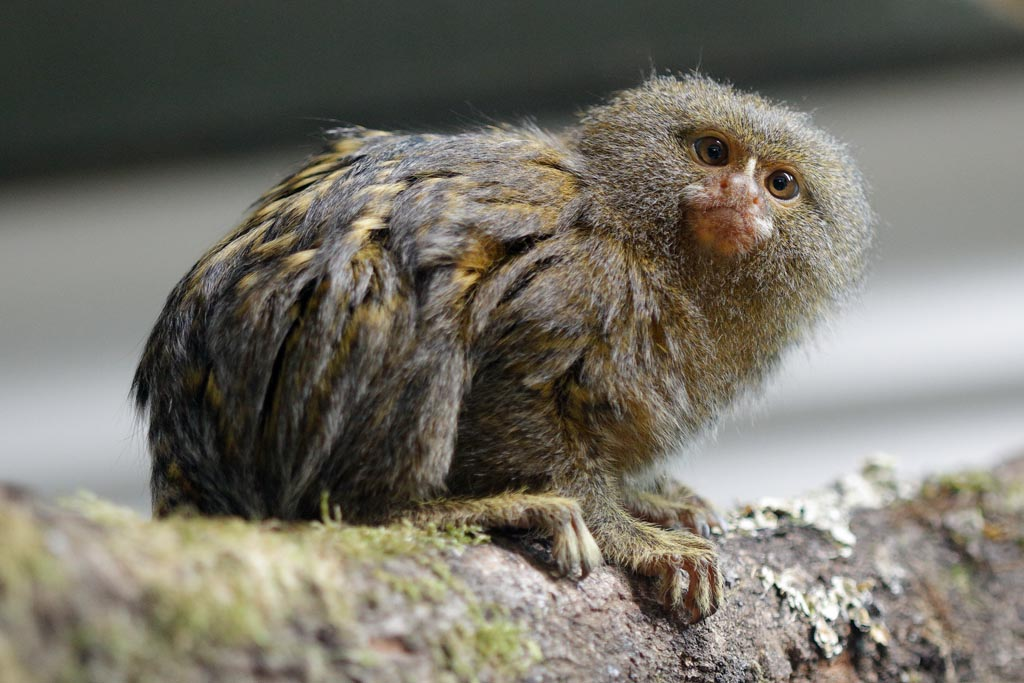 IMAGE: http://www.ware.myzen.co.uk/GalleryPics/Photos/Captive%20Animals/Monkeys%20and%20Apes/zoo%20pygmy%20marmoset%20A01_010_15-09-17.jpg