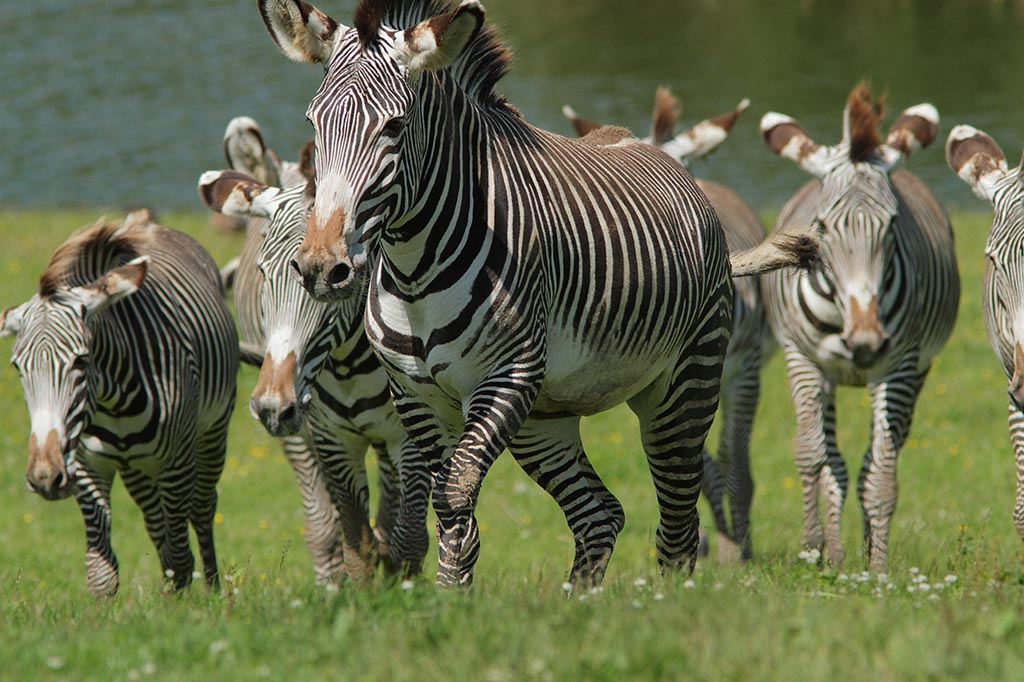 IMAGE: http://www.ware.myzen.co.uk/GalleryPics/Photos/Captive%20Animals/cap%20an%20Grevys%20Zebra%20A_006_17-07-12.jpg
