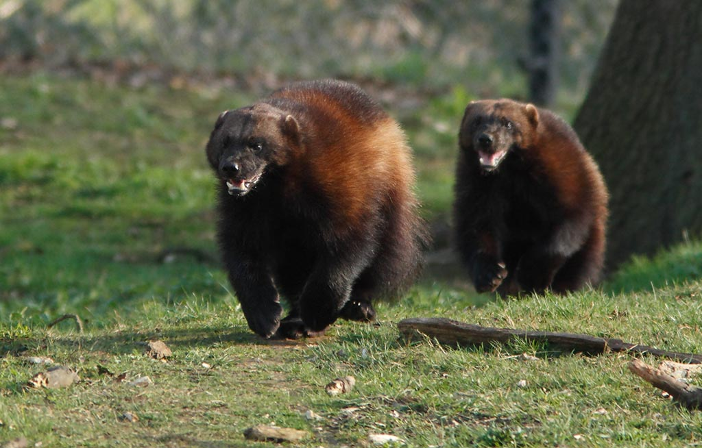 IMAGE: http://www.ware.myzen.co.uk/GalleryPics/Photos/Captive%20Animals/cap%20an%20Wolverine%20A1B_006_21-03-12.jpg