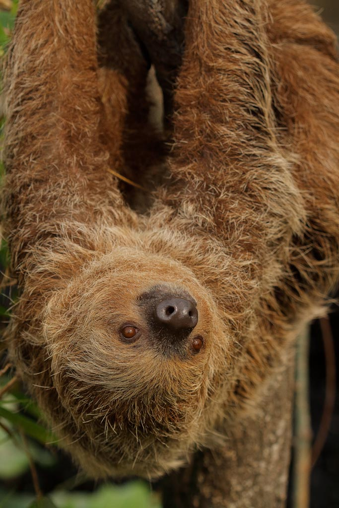 capan Linnes two-toed sloth A01_009_10-09-18.jpg