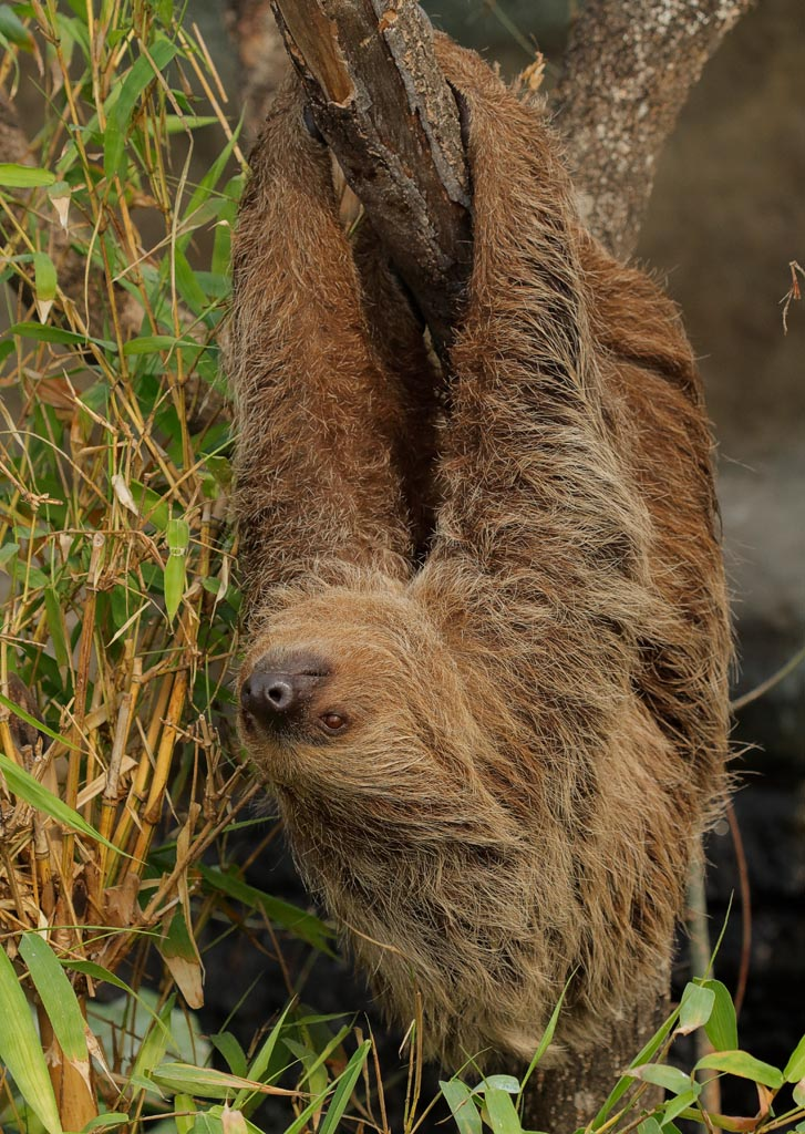 capan Linnes two-toed sloth A01_017_10-09-18.jpg
