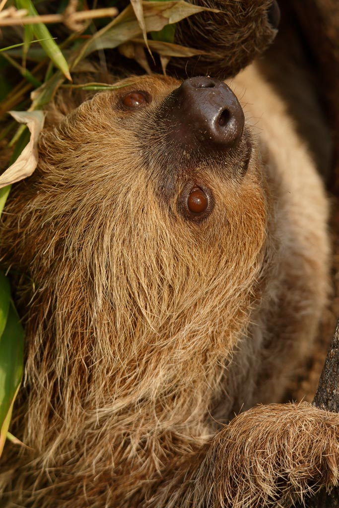 capan Linnes two-toed sloth B06_002_10-09-18.jpg