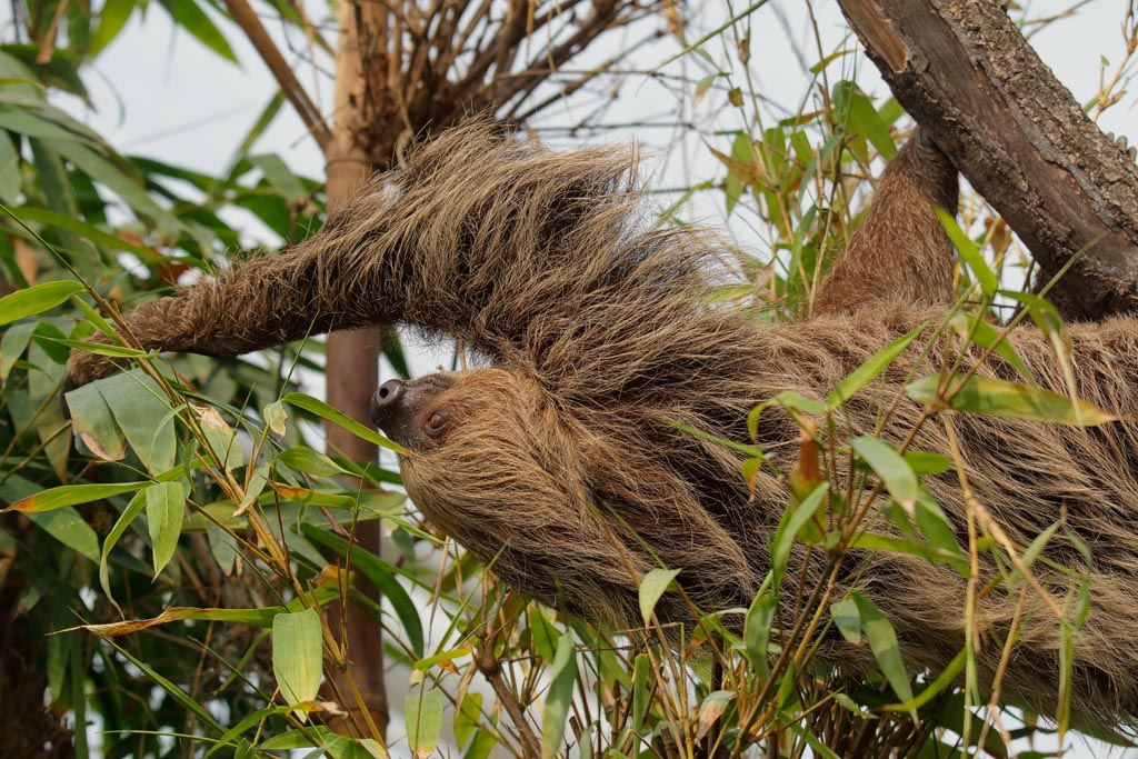capan Linnes two-toed sloth B07_002_10-09-18.jpg