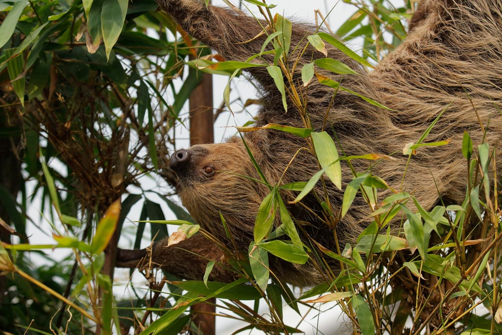 capan Linnes two-toed sloth B07_007_10-09-18.jpg