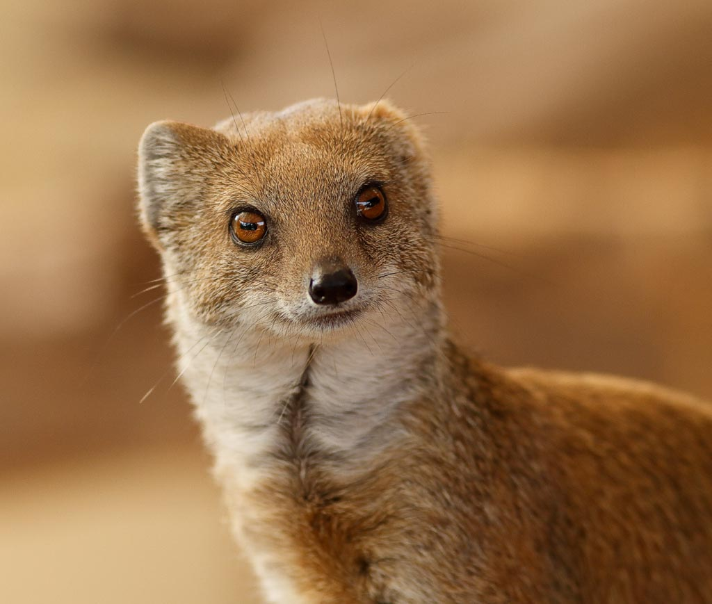 IMAGE: http://www.ware.myzen.co.uk/GalleryPics/Photos/Captive%20Animals/capan%20Yellow%20mongoose%20A01_001_10-09-18.jpg