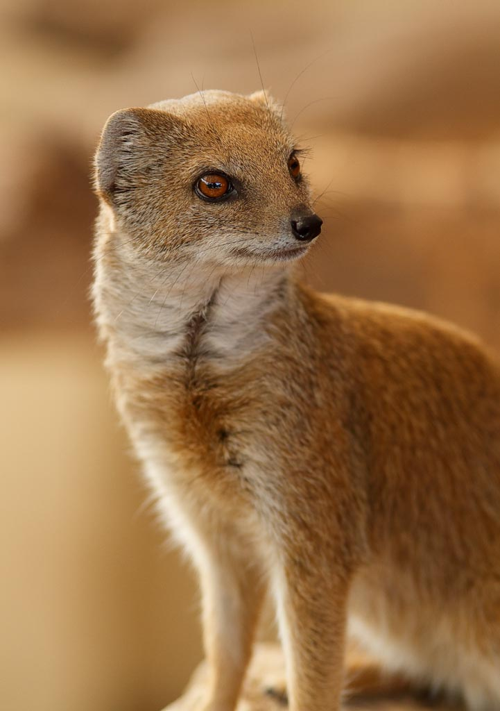 IMAGE: http://www.ware.myzen.co.uk/GalleryPics/Photos/Captive%20Animals/capan%20Yellow%20mongoose%20A01_002_10-09-18.jpg