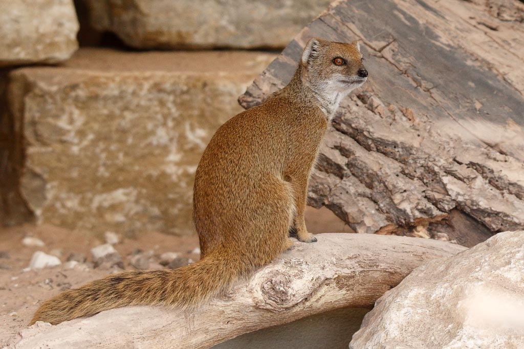 capan Yellow mongoose B01_001_10-09-18.jpg