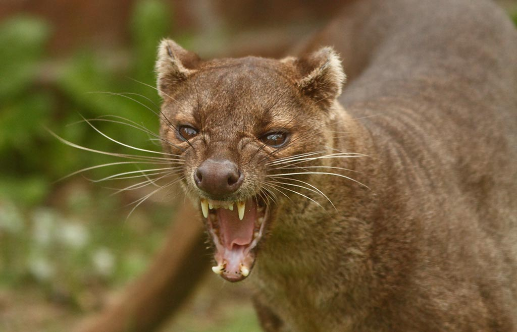 IMAGE: http://www.ware.myzen.co.uk/GalleryPics/Photos/Captive%20Animals/capt%20an%20Fossa_002_17-10-11.jpg