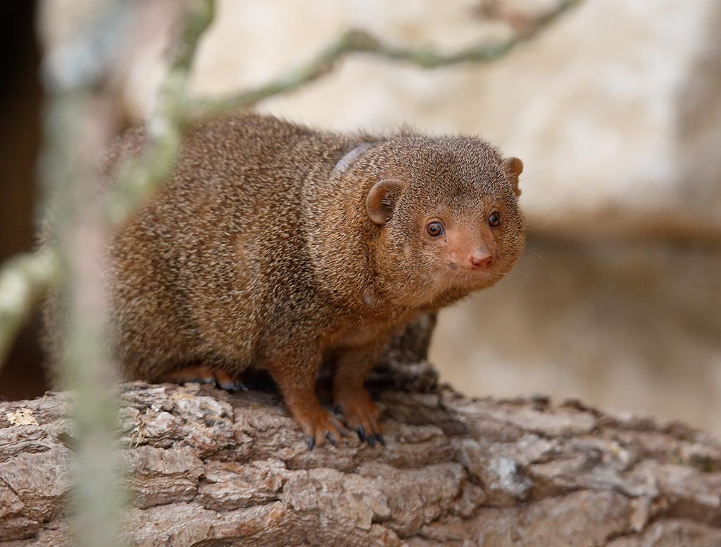 IMAGE: http://www.ware.myzen.co.uk/GalleryPics/Photos/Captive%20Animals/zoo%206D%20Dwarf%20Mongoose%20A_15-06-10_005.jpg