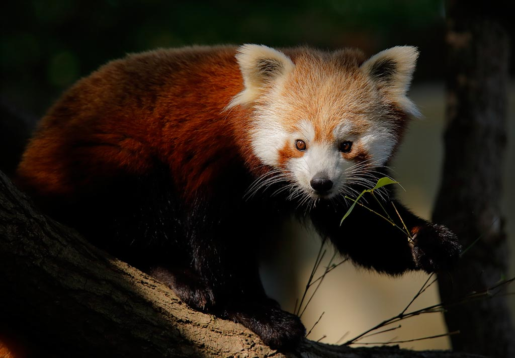 IMAGE: http://www.ware.myzen.co.uk/GalleryPics/Photos/Captive%20Animals/zoo%206D%20Red%20Panda%20B_14-09-10_006.jpg