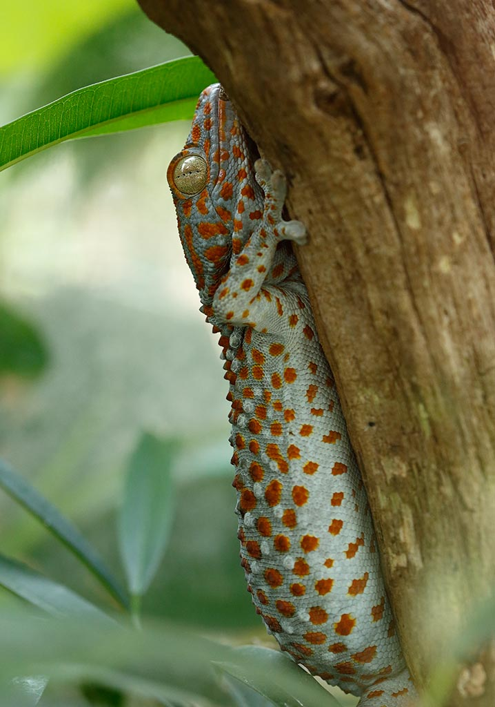 IMAGE: http://www.ware.myzen.co.uk/GalleryPics/Photos/Captive%20Animals/zoo%206D%20Tokay%20Gecko_14-06-09_001.jpg