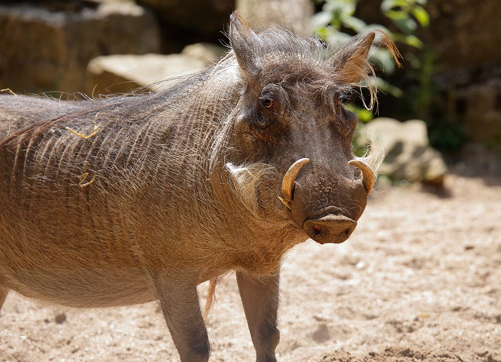 IMAGE: http://www.ware.myzen.co.uk/GalleryPics/Photos/Captive%20Animals/zoo%206D%20Warthog%20A_15-06-10_003.jpg