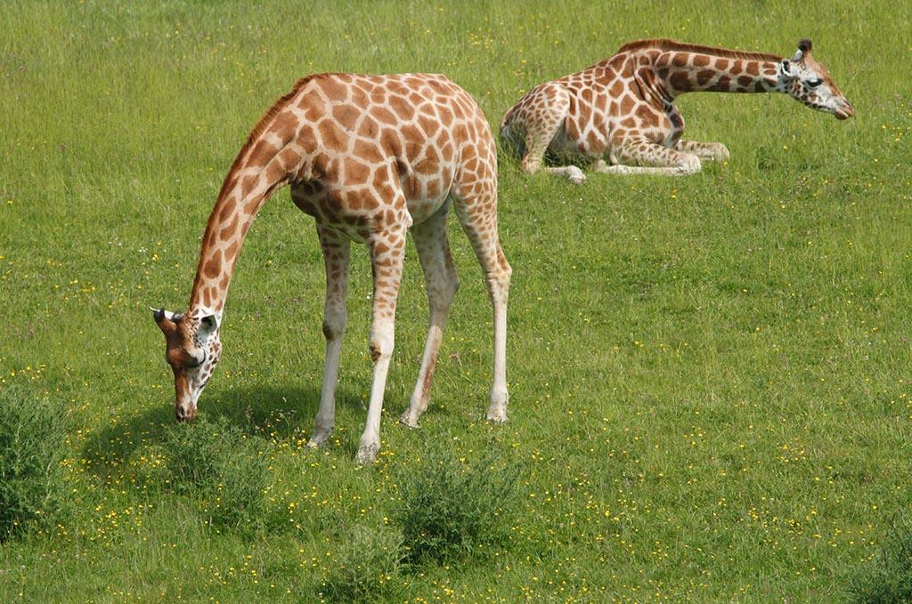 IMAGE: http://www.ware.myzen.co.uk/GalleryPics/Photos/Captive%20Animals/zoo%207D%20Giraffe_004_09-06-14.jpg