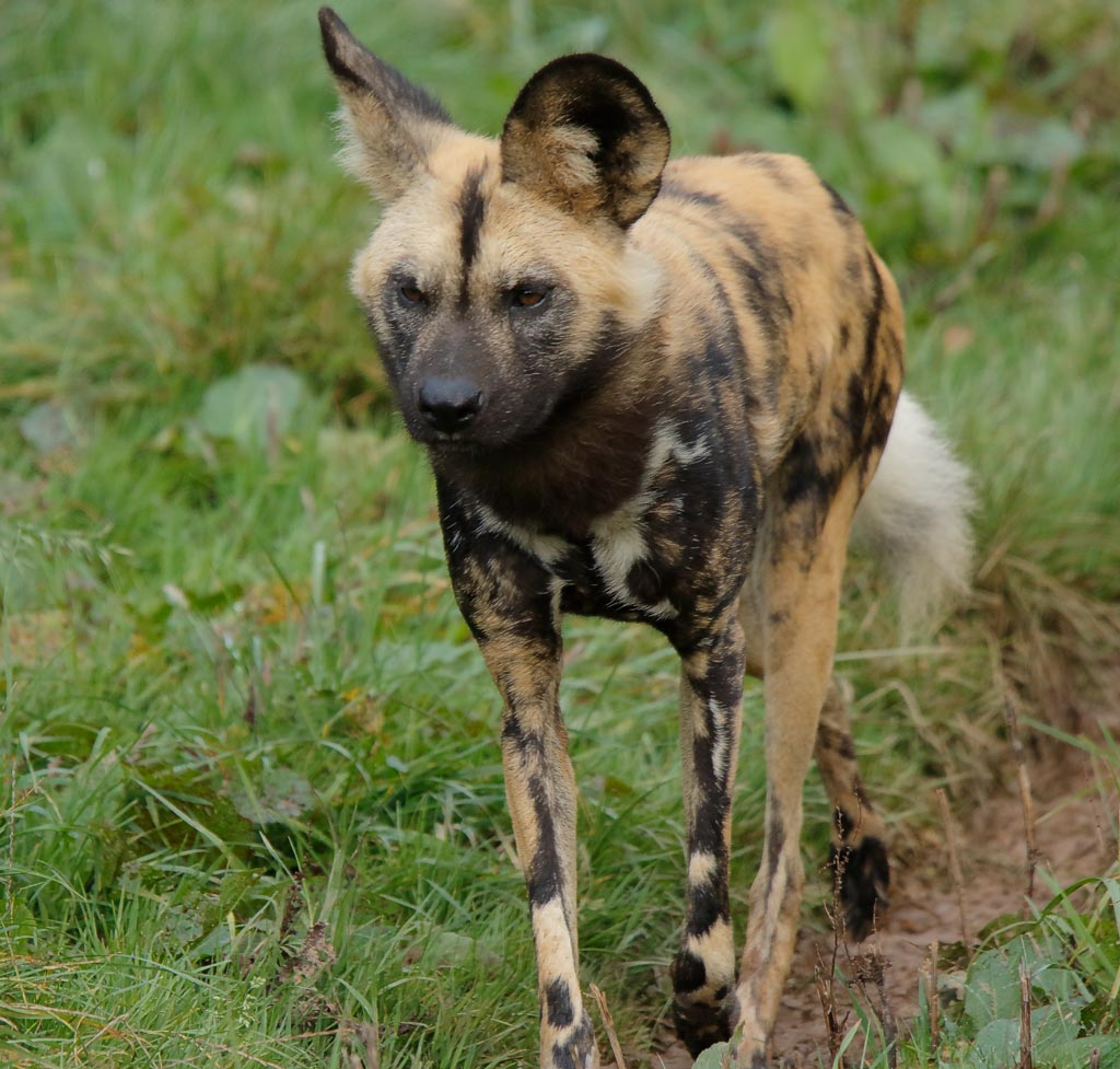 zoo African hunting dogs A07_002_18-10-18.jpg