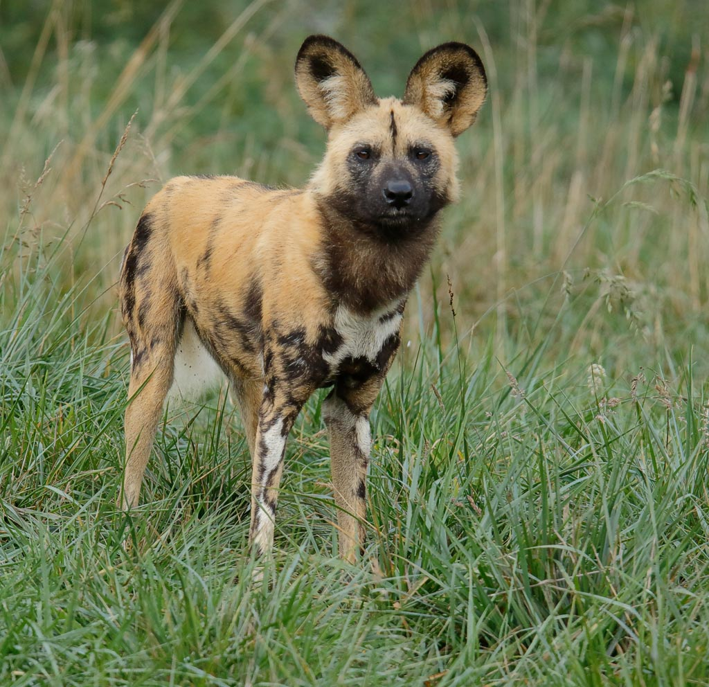 zoo African hunting dogs A09_007_18-10-18.jpg