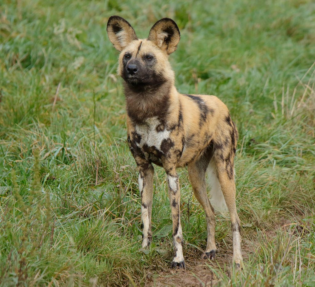 zoo African hunting dogs A10_002_18-10-18.jpg