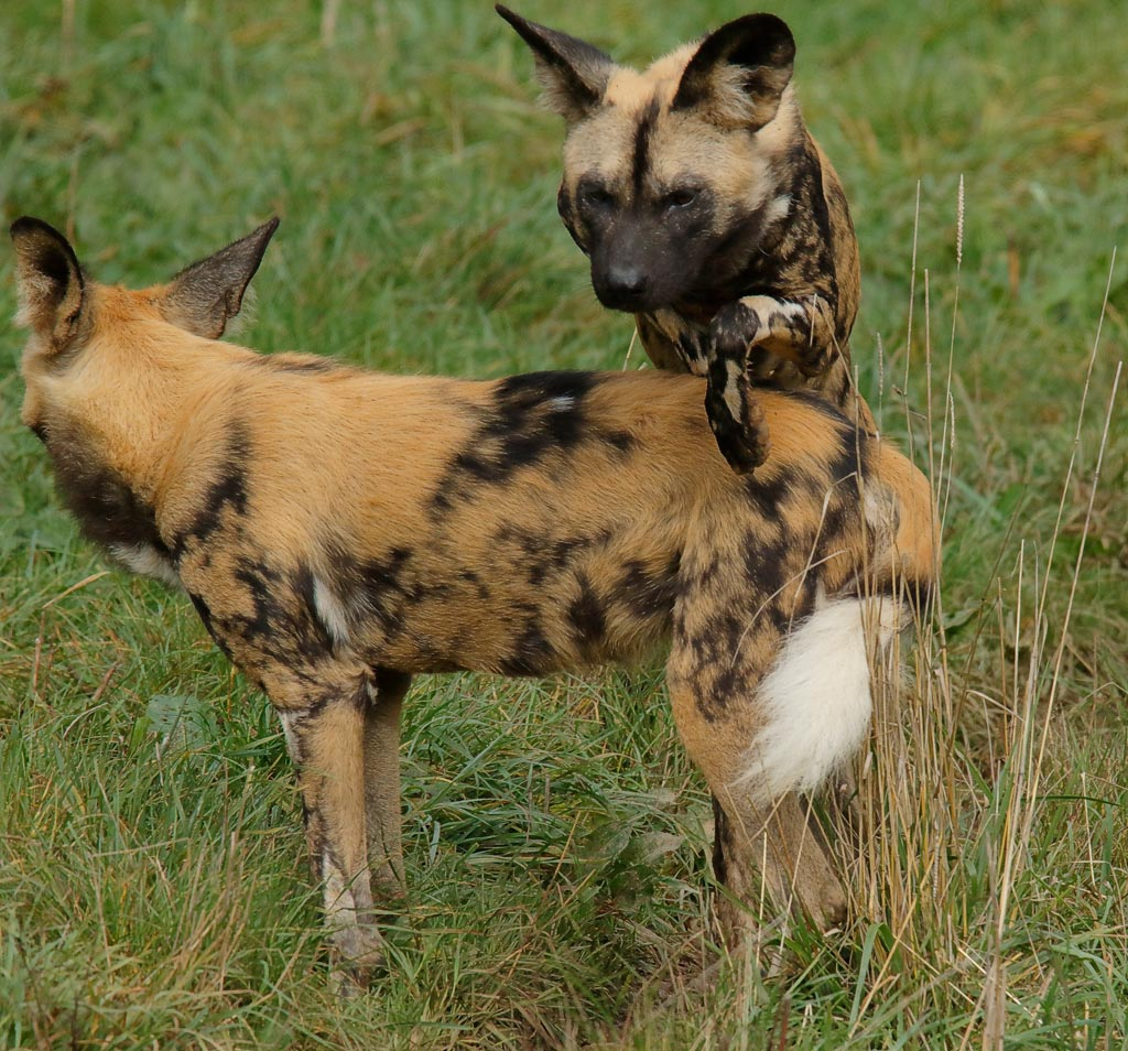 zoo African hunting dogs A11_002_18-10-18.jpg