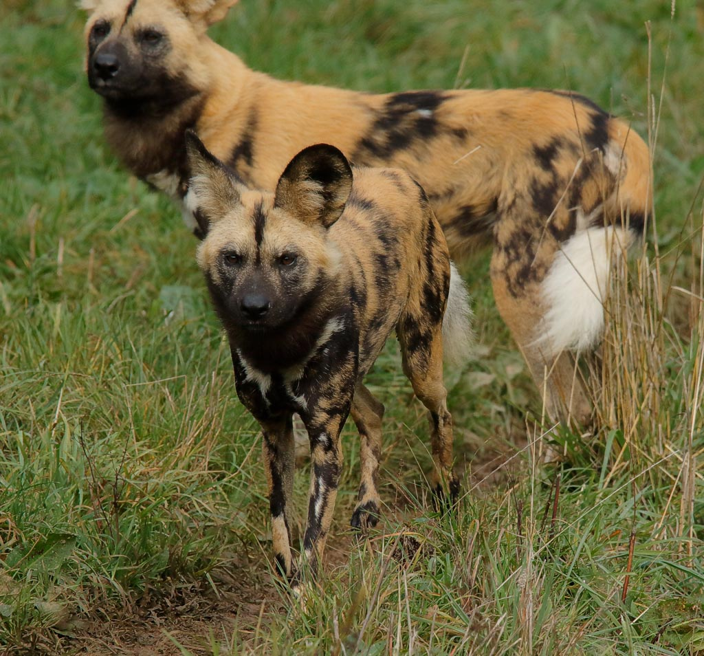 zoo African hunting dogs A11_008_18-10-18.jpg