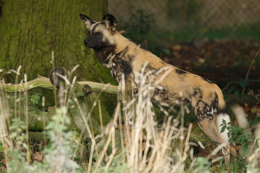 zoo African hunting dogs A14_004_18-10-18.jpg