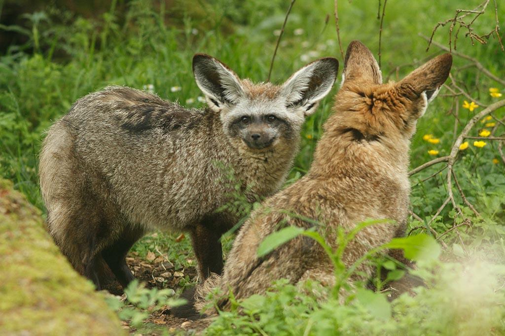 IMAGE: http://www.ware.myzen.co.uk/GalleryPics/Photos/Captive%20Animals/zoo%20Bat-eared%20Fox%20C_003_17-06-13.jpg