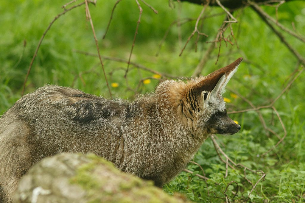 IMAGE: http://www.ware.myzen.co.uk/GalleryPics/Photos/Captive%20Animals/zoo%20Bat-eared%20Fox%20C_019_17-06-13.jpg