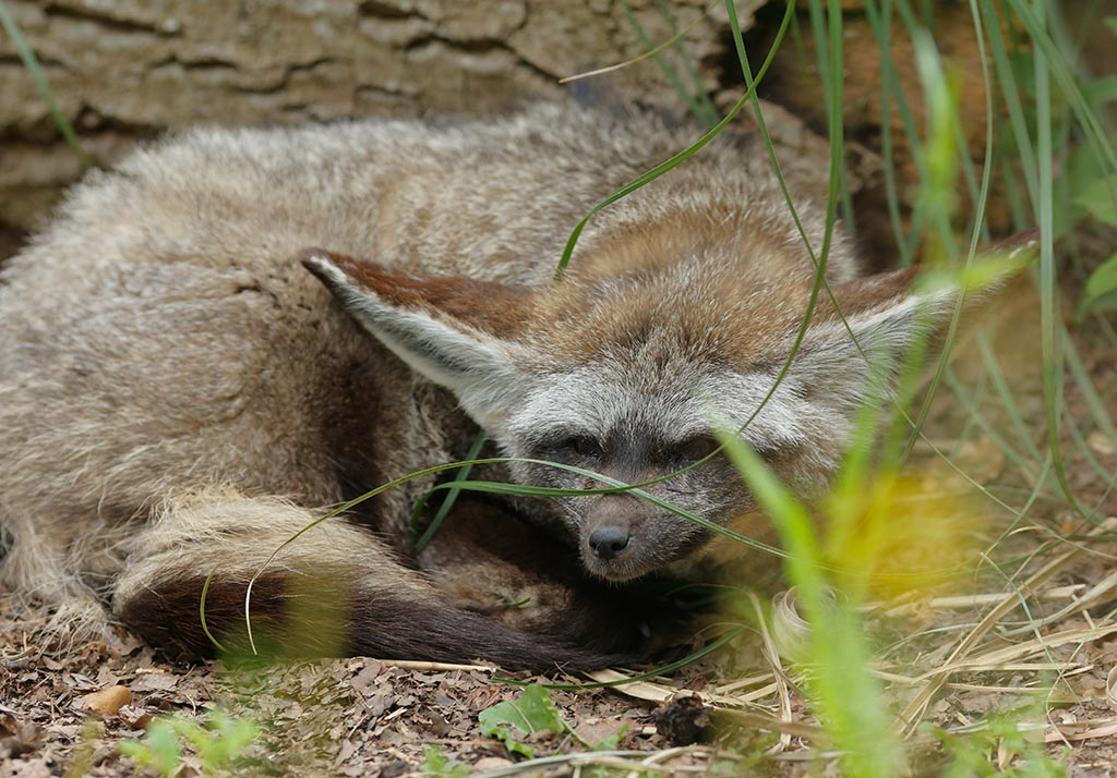 IMAGE: http://www.ware.myzen.co.uk/GalleryPics/Photos/Captive%20Animals/zoo%20Bat-eared%20fox%20%20B%206D_158_07-07-16.jpg