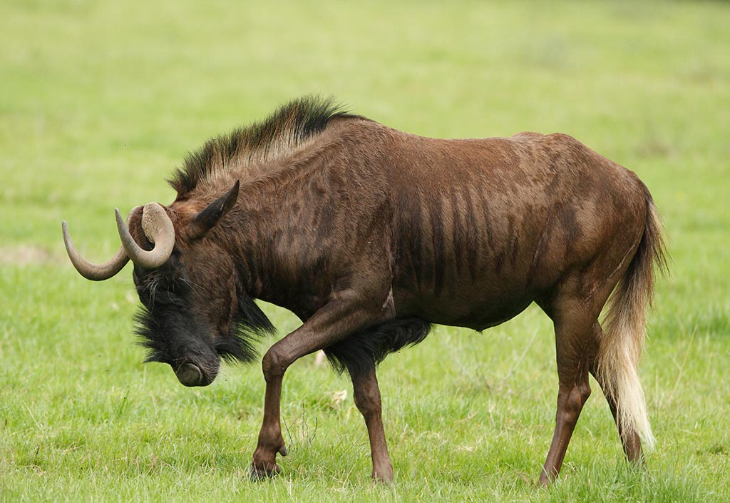 IMAGE: http://www.ware.myzen.co.uk/GalleryPics/Photos/Captive%20Animals/zoo%20Black%20Wildebeest%20A_004_23-09-13.jpg