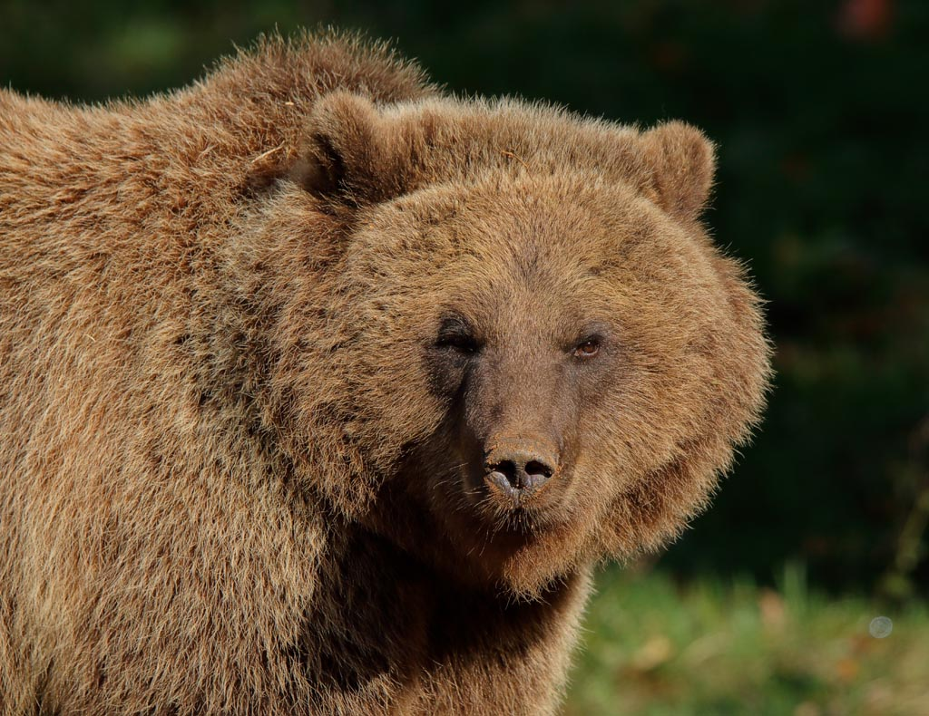 IMAGE: http://www.ware.myzen.co.uk/GalleryPics/Photos/Captive%20Animals/zoo%20Brown%20bear%20A06_002_18-10-18.jpg
