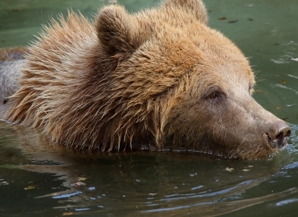 zoo Brown bear A08_002_18-10-18.jpg