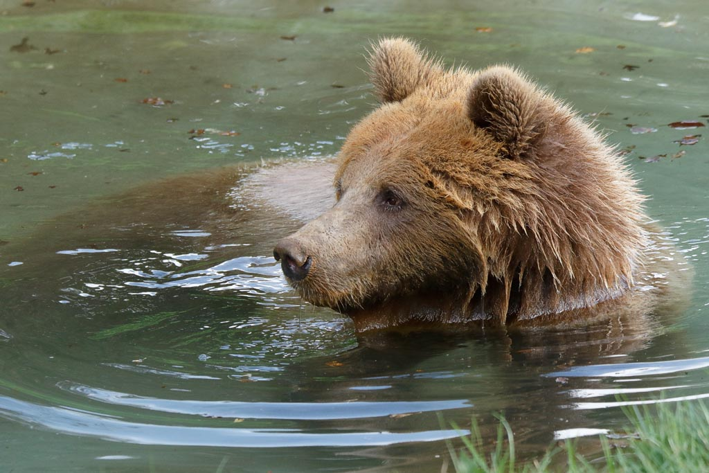 zoo Brown bear A08_003_18-10-18.jpg