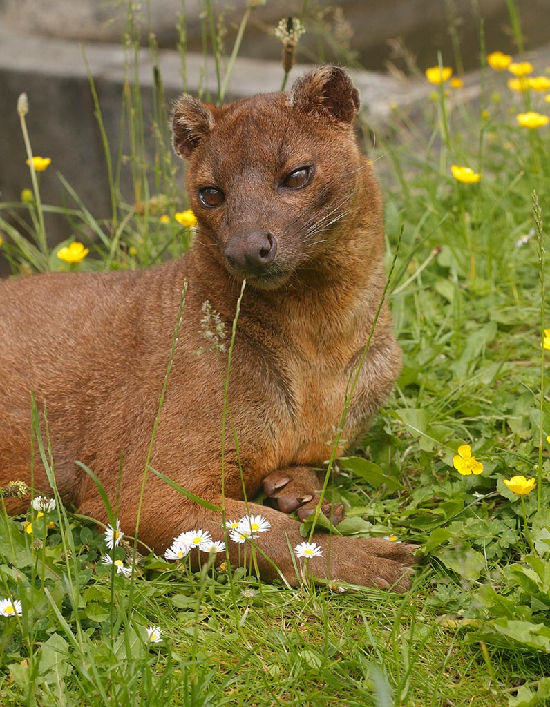IMAGE: http://www.ware.myzen.co.uk/GalleryPics/Photos/Captive%20Animals/zoo%20Fossa%20A_004_17-06-13.jpg