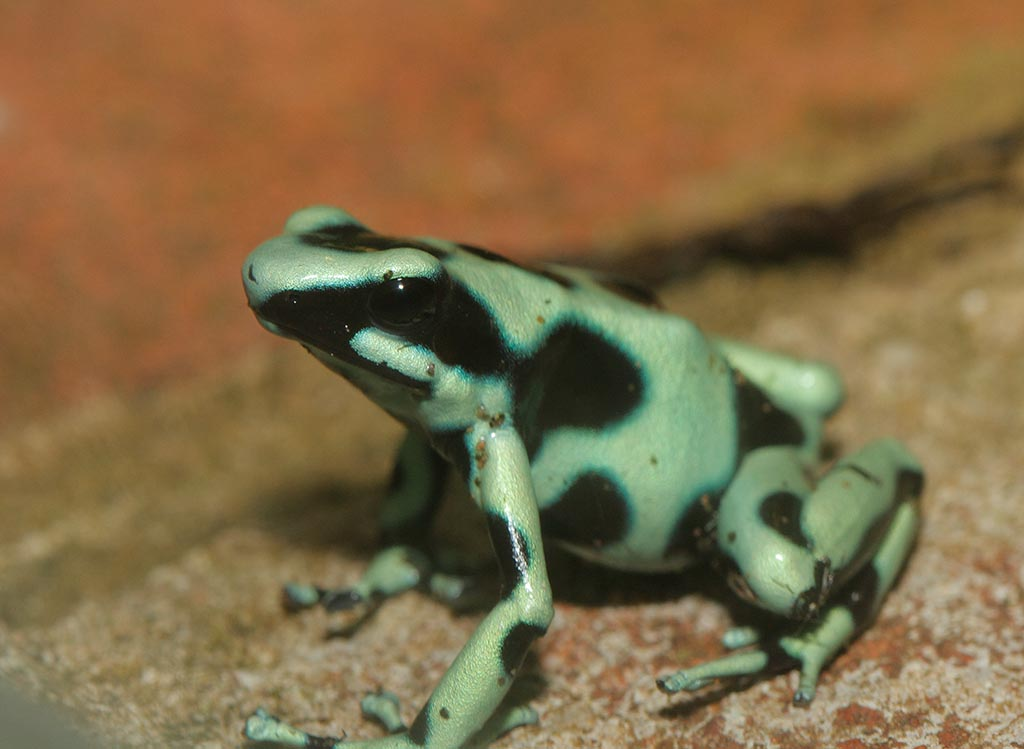 IMAGE: http://www.ware.myzen.co.uk/GalleryPics/Photos/Captive%20Animals/zoo%20GB%20poison%20dart%20frog%20A_002_23-09-13.jpg