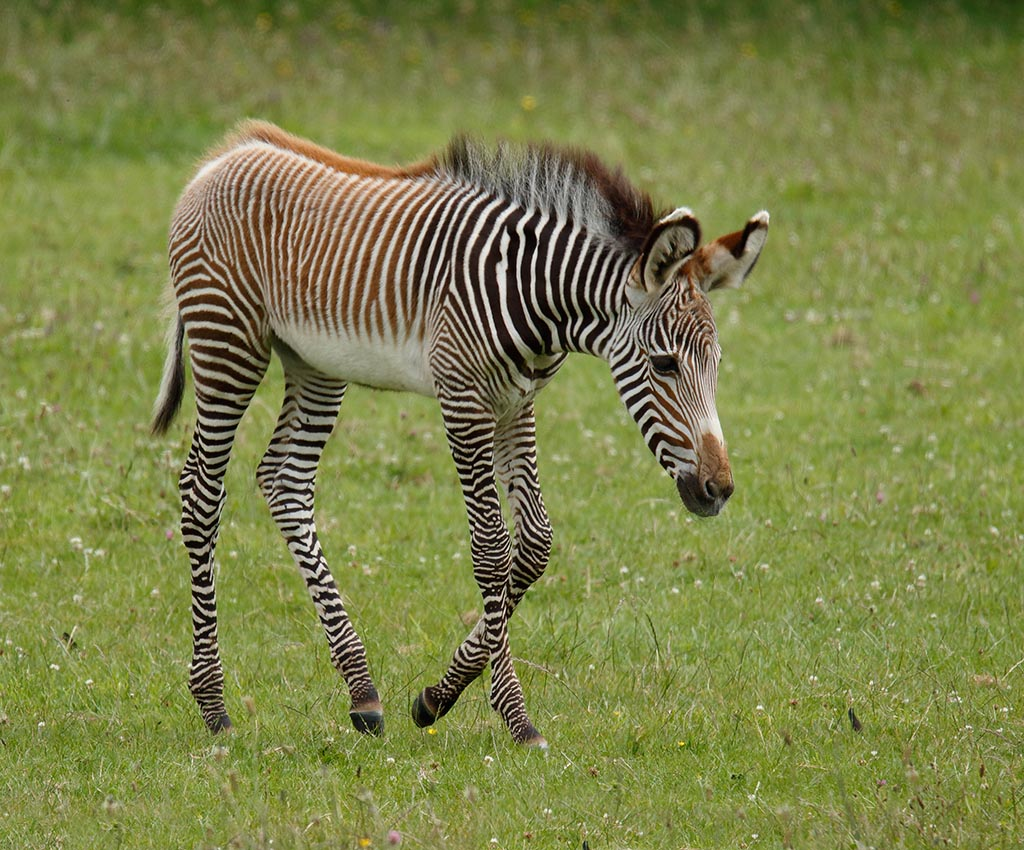 IMAGE: http://www.ware.myzen.co.uk/GalleryPics/Photos/Captive%20Animals/zoo%20Grevys%20foal%20A%207DII_009_07-07-16.jpg