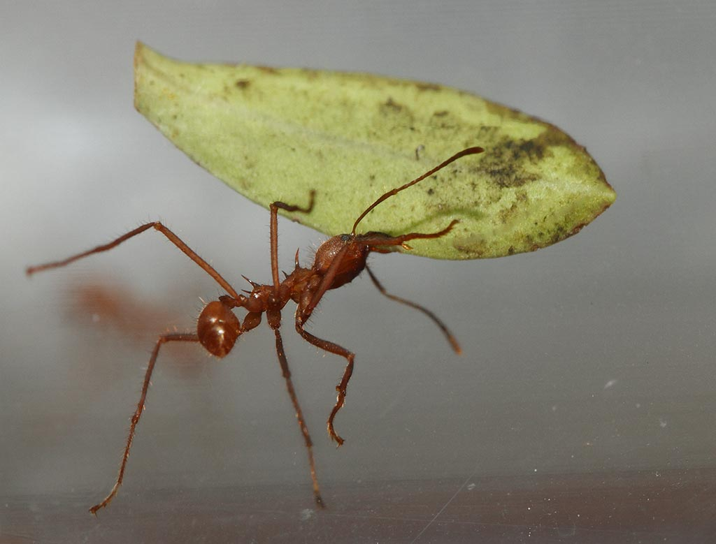 IMAGE: http://www.ware.myzen.co.uk/GalleryPics/Photos/Captive%20Animals/zoo%20Leafcutter%20Ant%20A_005_23-09-13.jpg