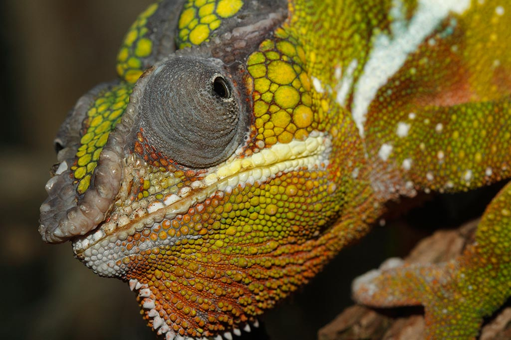 IMAGE: http://www.ware.myzen.co.uk/GalleryPics/Photos/Captive%20Animals/zoo%20Panther%20chameleon%20A_003_23-09-13.jpg