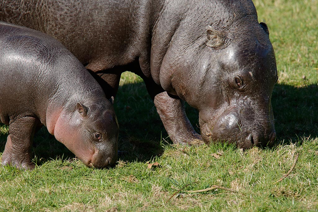 IMAGE: http://www.ware.myzen.co.uk/GalleryPics/Photos/Captive%20Animals/zoo%20Pygmy%20Hippo%20mc%20A_007_13-03-17.jpg
