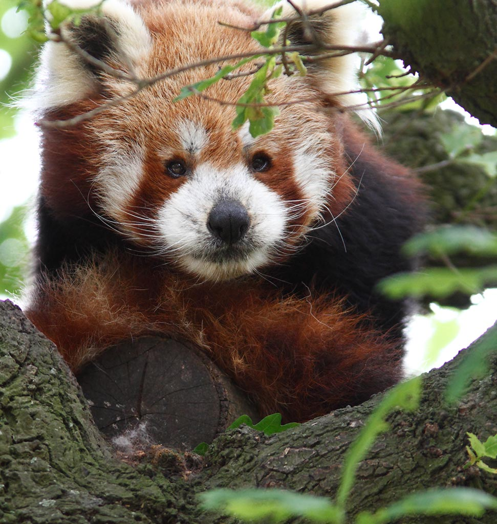 IMAGE: http://www.ware.myzen.co.uk/GalleryPics/Photos/Captive%20Animals/zoo%20Red%20Panda%20A_001_17-06-13.jpg