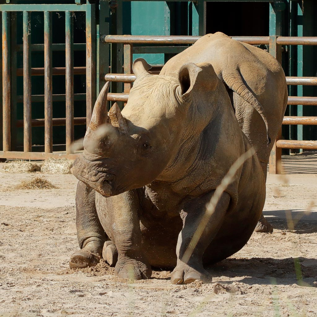 IMAGE: http://www.ware.myzen.co.uk/GalleryPics/Photos/Captive%20Animals/zoo%20SW%20Rhino%20B01_002_19-09-19.jpg