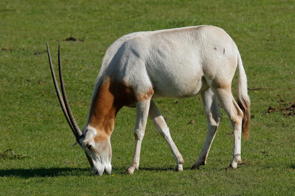 IMAGE: http://www.ware.myzen.co.uk/GalleryPics/Photos/Captive%20Animals/zoo%20Scimitar-horned%20Oryx%20A01_001_15-09-17.jpg