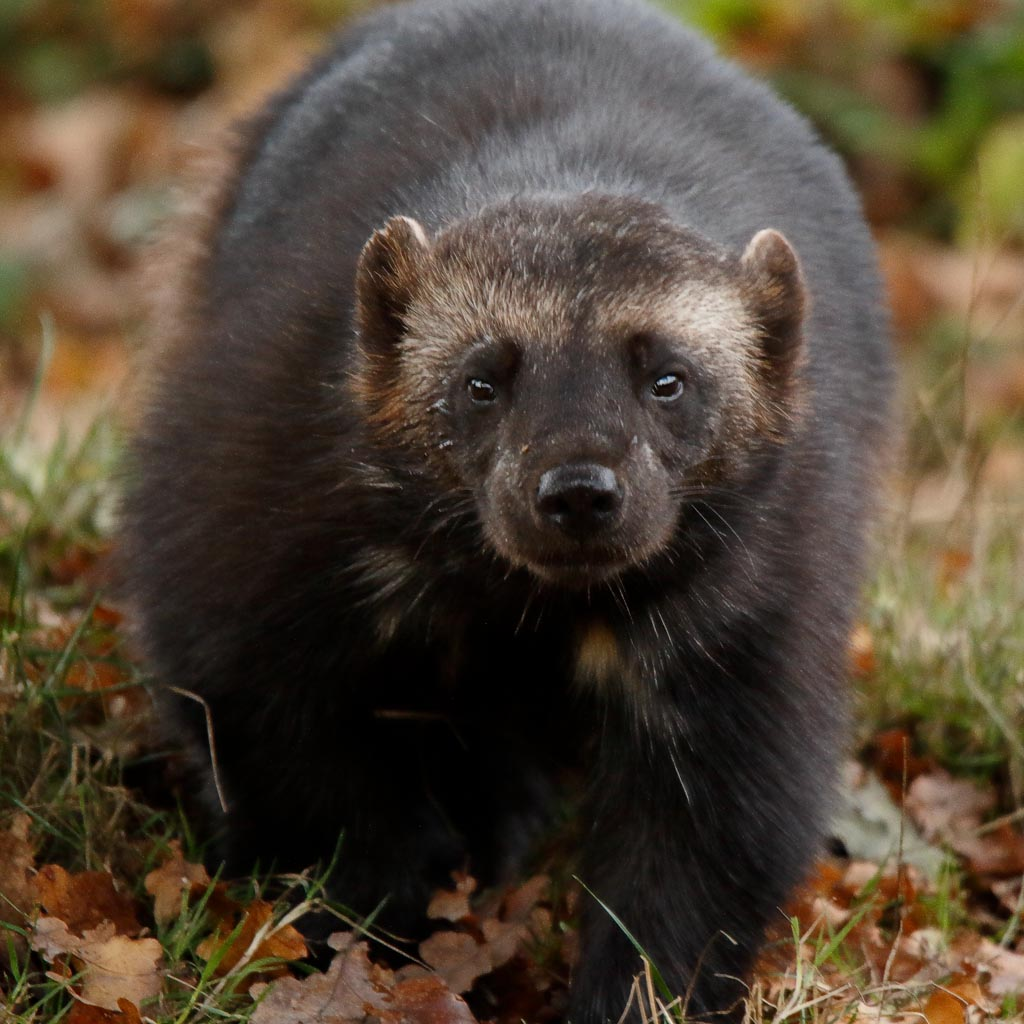 IMAGE: http://www.ware.myzen.co.uk/GalleryPics/Photos/Captive%20Animals/zoo%20Wolverine%20A02_007_18-10-18.jpg
