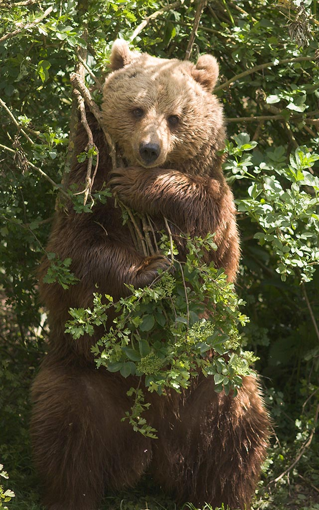 IMAGE: http://www.ware.myzen.co.uk/GalleryPics/Photos/Captive%20Animals/zoo%20animals_brown%20bear_24.jpg