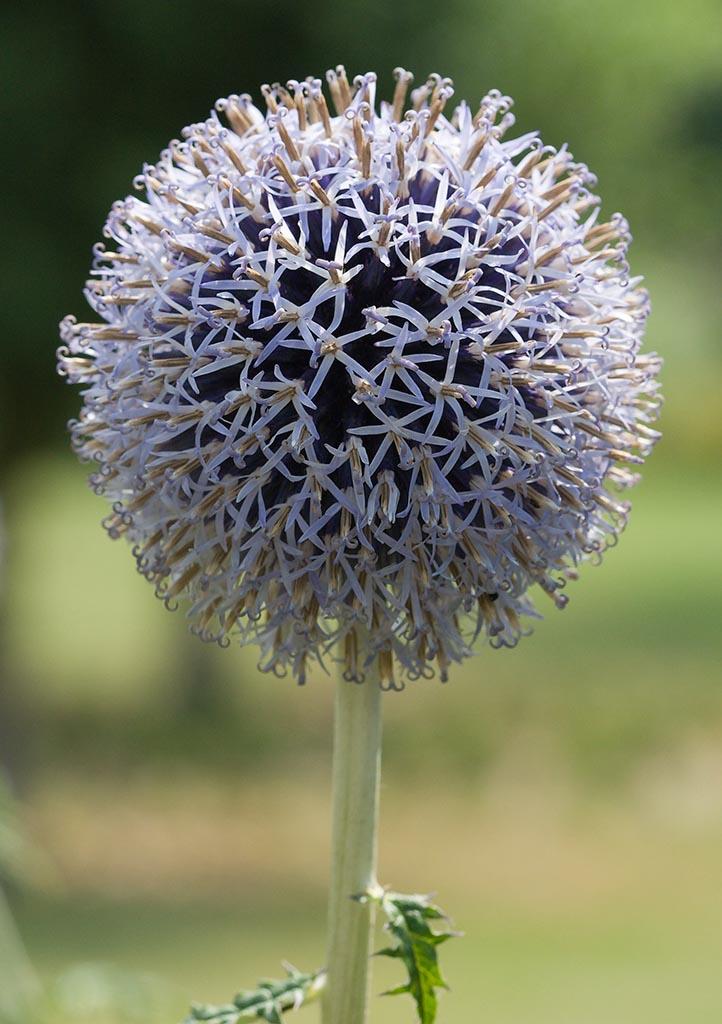 IMAGE: http://www.ware.myzen.co.uk/GalleryPics/Photos/Flora/Flowers%20Blue%20Flower%20013.jpg