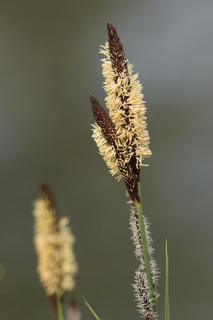IMAGE: http://www.ware.myzen.co.uk/GalleryPics/Photos/Flora/Flowers%20Reed%20Head%20002%20160407.jpg