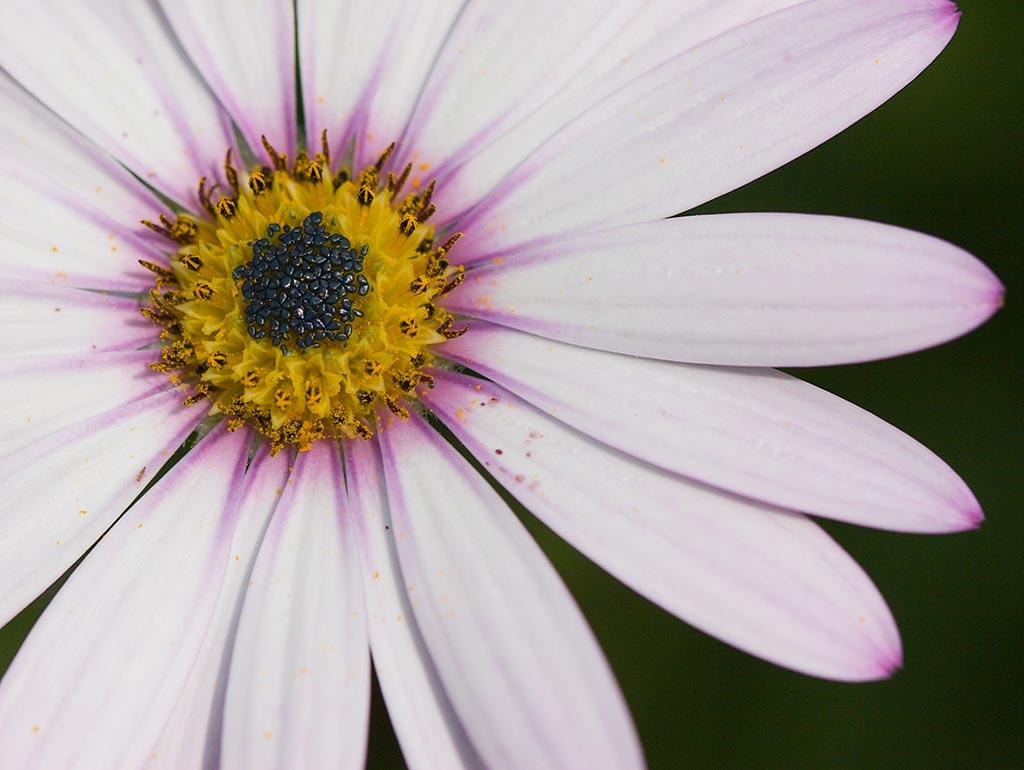 IMAGE: http://www.ware.myzen.co.uk/GalleryPics/Photos/Flora/Flowers%20White%20and%20Purple%20Flower%20001.jpg